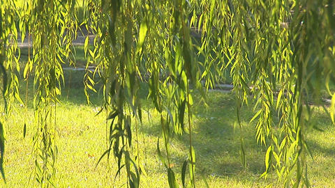 fresh willow 2 Stock Video Footage