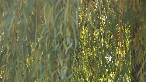 willow 4 Stock Video Footage