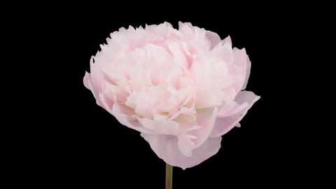 Stereoscopic 3D time-lapse of opening white peony 2a... Stock Video Footage