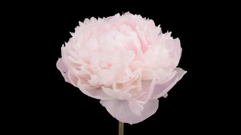 Stereoscopic 3D time-lapse of opening white peony 2a (left-eye) Footage