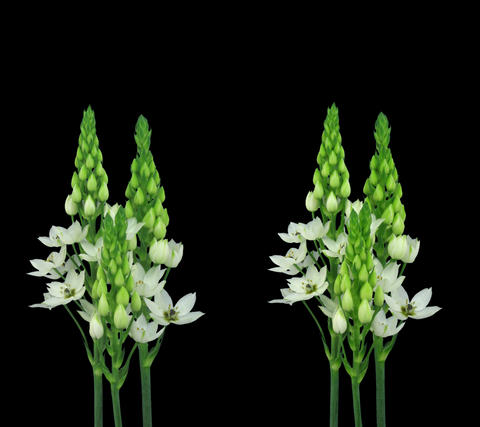 Stereoscopic 3D time-lapse of opening snowflake flower... Stock Video Footage