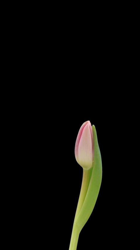 Stereoscopic 3D time-lapse of opening pink tulip 1c (left... Stock Video Footage