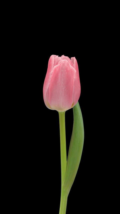 Stereoscopic 3D time-lapse of opening pink tulip 1c (left eye) vertical Footage
