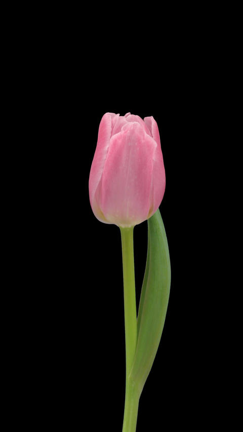 Stereoscopic 3D time-lapse of opening pink tulip 1c (right eye) vertical Footage