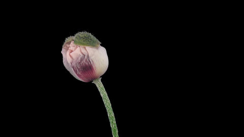Stereoscopic 3D time-lapse of opening white poppy 1a (left-eye) Footage