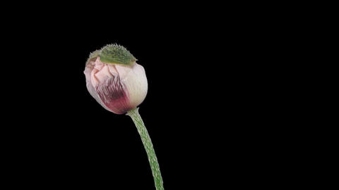 Stereoscopic 3D time-lapse of opening white poppy 1a (right-eye) Footage
