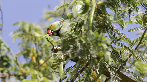 Alexandrine Parakeet Stock Video Footage