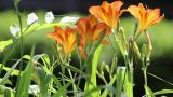 Orange Flowers 2 stock footage