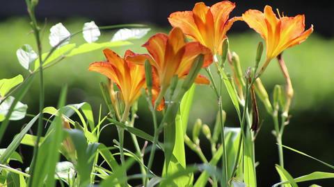 orange flowers 2 Footage
