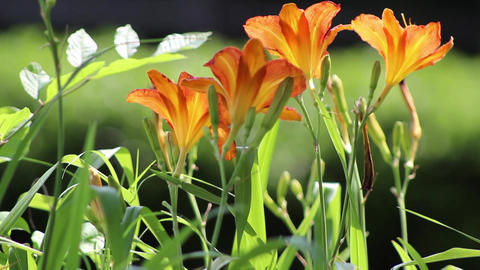 orange flowers 2 Stock Video Footage