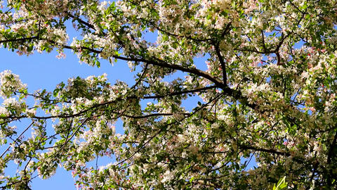 Spring Cherry Blossoming Tree 05 Stock Video Footage