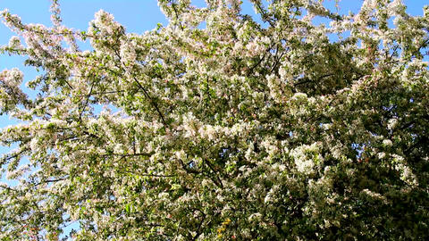 Spring Cherry Blossoming Tree 01 Stock Video Footage