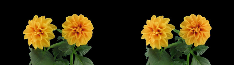 Stereoscopic 3D time-lapse of opening orange dahlia 1az (cross-vision) Footage