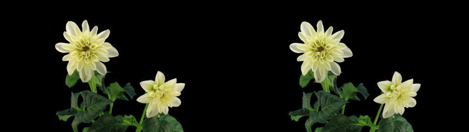 Stereoscopic 3D time-lapse of opening white dahlia 1z... Stock Video Footage