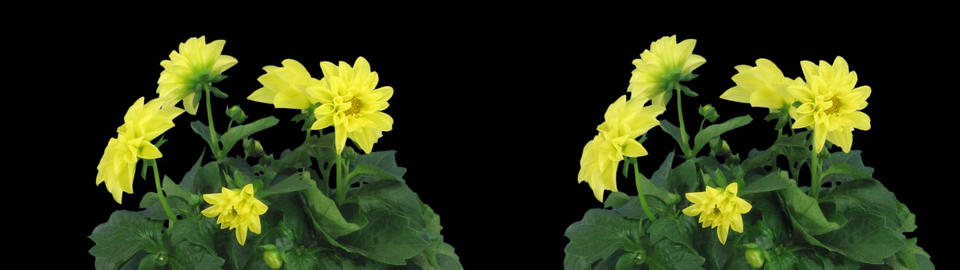 Stereoscopic 3D time-lapse of opening yellow dahlia 1cz... Stock Video Footage