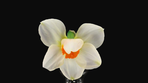 "Stereoscopic 3D time-lapse of opening narcissus ""Barret... Stock Video Footage"