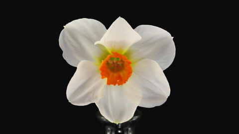"Stereoscopic 3D time-lapse of opening narcissus ""Barret Browning"" 2a left eye Footage"