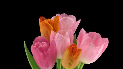 Stereoscopic 3D time-lapse of opening tulip bouquet 1a-left-1080p Footage