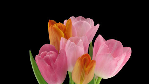 Stereoscopic 3D time-lapse of opening tulip bouquet 1a-right-1080p Footage