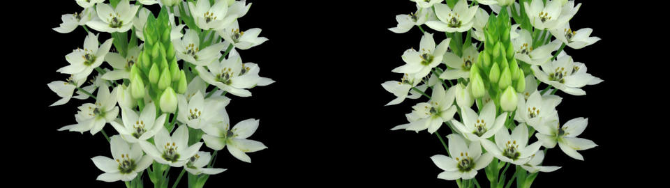 Stereoscopic 3D time-lapse of opening snowflake flower 1cz (cross-vision) Footage