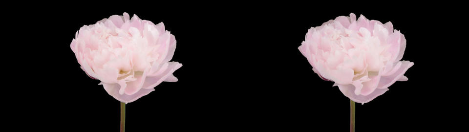 Stereoscopic 3D time-lapse of opening white peony 2az... Stock Video Footage
