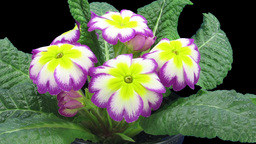 Time-lapse of growing purple-yellow primula flower 1 Stock Video Footage