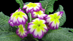 Time-lapse of growing purple-yellow primula flower 1 Footage
