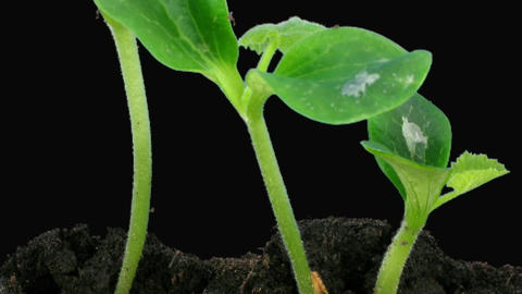 Time-lapse of growing pumpkin vegetables alpha matte 2a Stock Video Footage