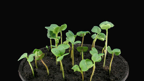 Time-lapse of growing radish in pot with alpha matte 4 Stock Video Footage