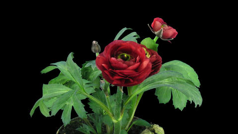 Time-lapse of growing red ranunculus flower alpha matte 1 Stock Video Footage