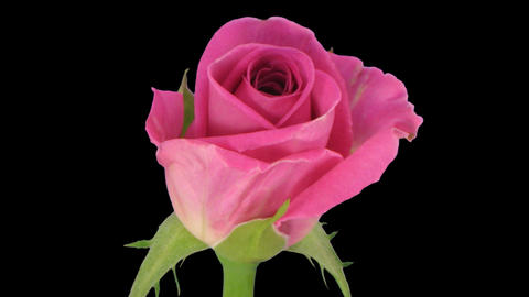 """Time-lapse of opening """"Aqua"""" rose 4c Stock Video Footage"""