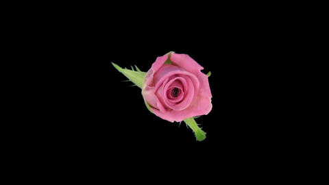 """Time-lapse of opening """"Aqua"""" rose with alpha matte 9 top Stock Video Footage"""