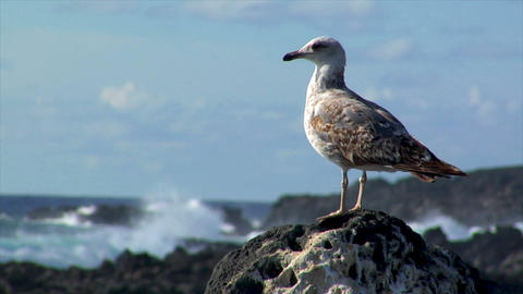seagull with havy surf in background Stock Video Footage