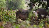 Wild Pigs stock footage