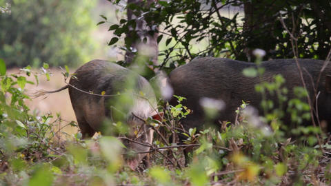wild pigs Stock Video Footage