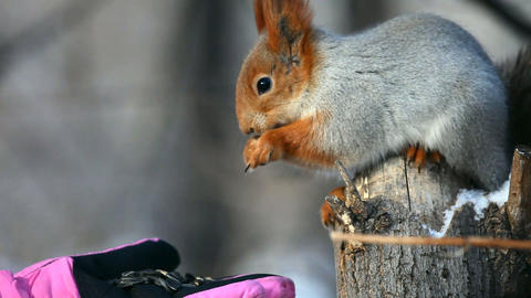 Squirrel Stock Video Footage