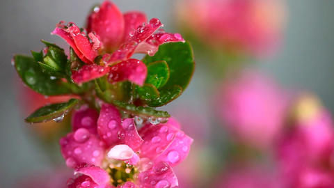 Pink kalanchoe Stock Video Footage