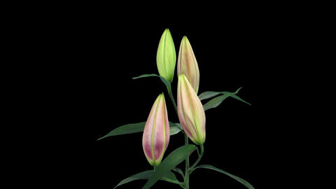 Stereoscopic 3D time-lapse of opening pink lily (right... Stock Video Footage