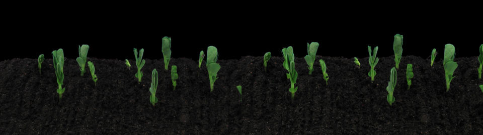 Stereoscopic 3D time-lapse of growing pea vegetables 1a... Stock Video Footage