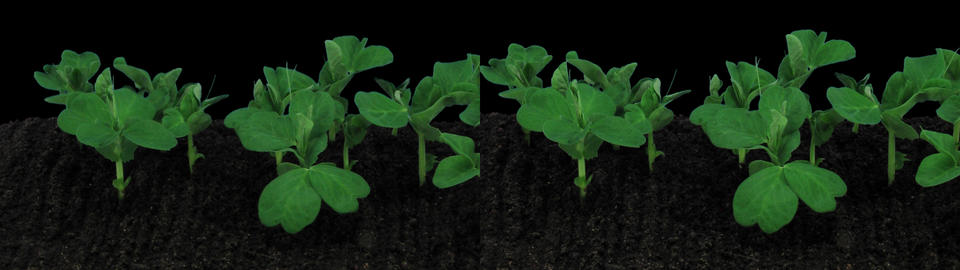 Stereoscopic 3D time-lapse of growing pea vegetables 1a (cross-vision) Footage