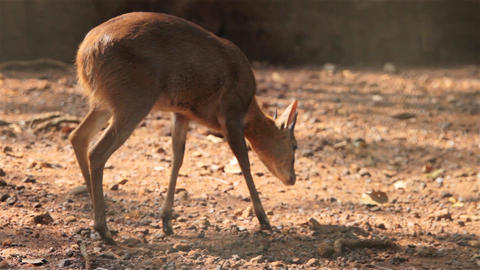 wild sambar deer Stock Video Footage