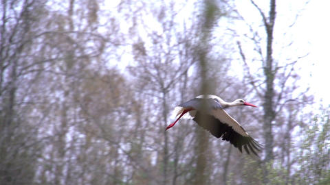 A white stork spreading its wings Footage