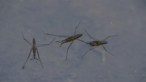 Three water strider laying on the water Footage