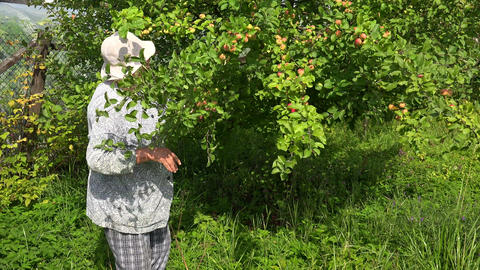 Mature woman, grandmother picking apples in the ga Footage