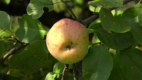 Ripe apples on apple tree branch. 4K Footage