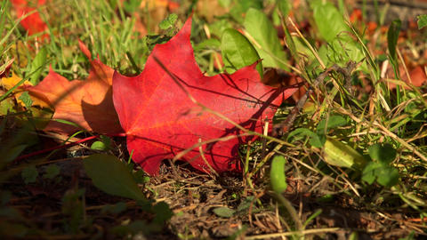 Red maple leaf on the grass. 4K Footage
