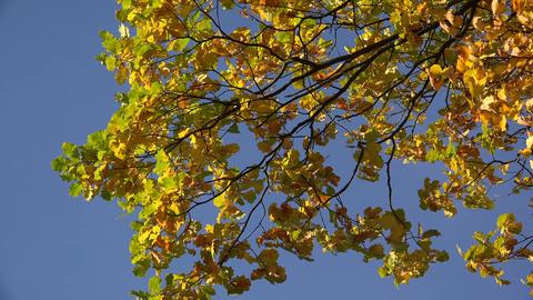Yellow oak leaves against the blue sky. 4K Footage