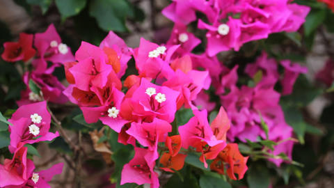 tropical flower Stock Video Footage