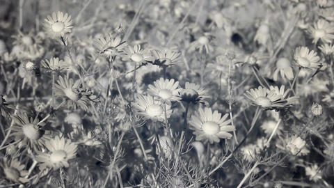 Infrared flora: field of camomile flowers in wind 1 Footage
