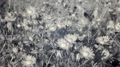 Infrared flora: field of camomile flowers in wind 1 Stock Video Footage